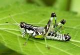 Green-legged Grasshopper Melanoplus viridipes