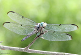 Great Blue Skimmer Libellula vibrans
