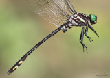 Arrow Clubtail Stylurus spiniceps