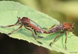 Robber Fly Diogmites basalis