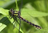 Maine Snaketail Ophiogomphus mainensis fastigiatus