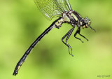 Harpoon Clubtail Phanogomphus descriptus