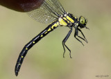 Northern Pygmy Clubtail Lanthus parvulus