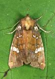 Brick-red Borer Moth Papaipema marginidens #9492