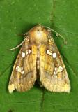 Indigo Stem Borer Moth Papaipema baptisiae #9485