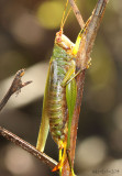 Black-legged Meadow Katydid - Orchelimum nigripes
