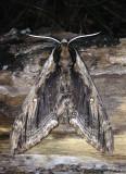 Elm Sphinx Moth Ceratomia amyntor #7786