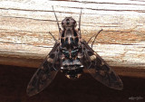Tiger Bee Fly Xenox tigrinus