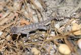 Northern Fence Lizard Sceloporus undulatus hyacinthinus