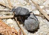 Dung Beetle Melanocanthon bispinatus