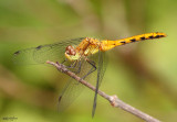 Cherry-faced Janae Meadowhawk Sympetrum internum
