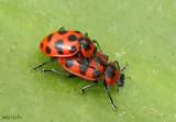 Lady Beetle Coleomegilla maculata