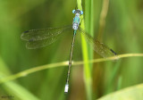 Amber-winged Spreadwing Lestes eurinus