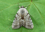 Sordid Underwing Moth Catocala sordida #8846