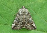 Similar Underwing Moth Catocala similis #8873