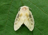 Black-waved Flannel Moth Lagoa crispata #4644