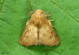 Forest Tent Caterpillar Moth Malacosoma disstria #7698