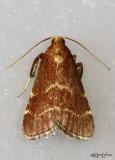 Posturing Arta Moth Arta statalis  #5566