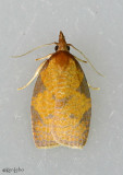Chokecherry Leafroller Moth Cenopis directana #3722