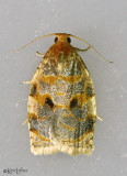 Oak Webworm Moth Archips fervidana #3655
