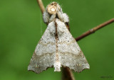 Angel Moth Olceclostera angelica #7665
