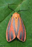 Scarlet-winged Lichen Moth Hypoprepia miniata #8089