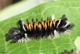 Milkweed Tussock Moth Euchaetes egle #8238