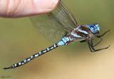 Blue-eyed Darner Rhionaeshna multicolor