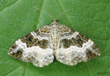 White-banded Toothed Carpet Moth Epirrhoe alternata #7394