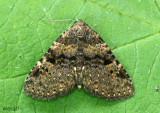 Four-spotted Fungus Moth Metalectra quadrisignata #8500
