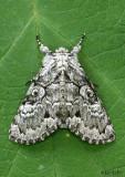 Laugher Moth Charadra deridens #9189