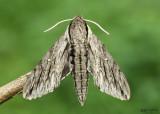 Plebeian Sphinx Moth Paratrea plebeja #7793