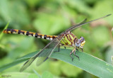 Eastern Ringtail Erpetogomphus designatus female