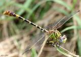 Eastern Ringtail Erpetogomphus designatus