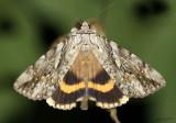 Yellow-banded Underwing Catocala cerogama #8802