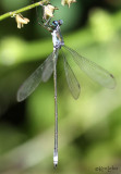 Swamp Spreadwing Lestes vigilax
