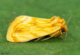 Goldenrod Stowaway Cirrhophanus-triangulifer #9766