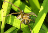 Six-spotted Fishing Spider Dolomedes triton