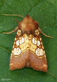 Pitcher-plant Borer Moth Papaipema appassionata #9493