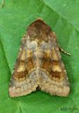 Bronzed Cutworm Nephelodes minians #10524