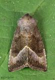 Stalk Borer Moth Papaipema nebris #9496
