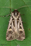 Dingy Cutworm Moth Feltia jaculifera #10670