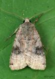 Smith's Dart Moth Xestia smithii #10944