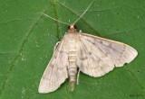 Serpentine Webworm Moth Herpetogramma aeglealis #5280