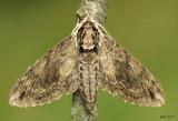 Catalpa Sphinx Moth Ceratomia catalpae #7789