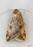 Triplex Cutworm Moth Micrathetis triplex #9644