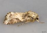Western Yellowstriped Armyworm Spodoptera praefica #9667