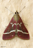 Volupial Pyrausta Moth Pyrausta volupialis #5029