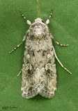 Beet Armyworm Moth Spodoptera exigua #9665