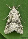 Cabbage Webworm Moth Hellula rogatalis #4846
